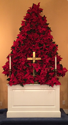 Beautiful poinsettia display behind the altar at Zion's Hill Methodist Church, Wilton, CT